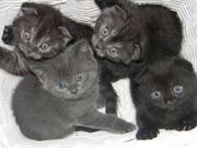 Продаются Шотландские котята! Плюшевые
