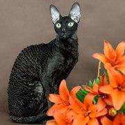Королевские котята корниш рекс