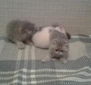 Продаются котята экзотической короткошерстной