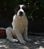 Продам щенков среднеазиатской овчарки (алабай)